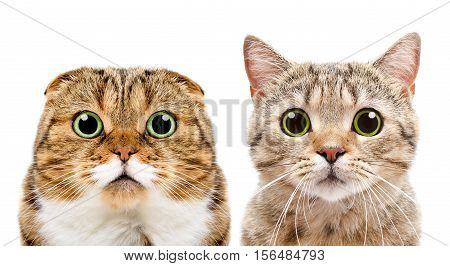 Portrait of cats Scottish Fold and Scottish Straight, closeup, isolated on white background