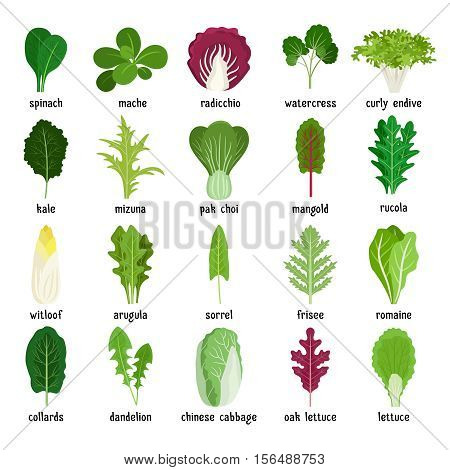 Green salad leaves. Vector vegetarian healthy food leaf set isolated on white background