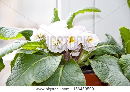 White Primrose Or Primula Flowers