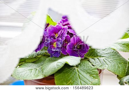 Violet Primrose Or Primula Flowers