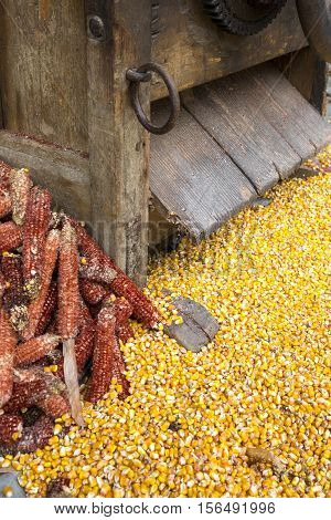 Freshly Processed Corn Kernels With Discarded Cobs Under A Vintage Agricultural Maize Separator Proc