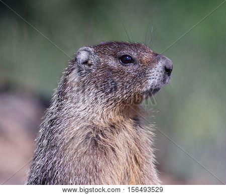 An alert Marmot keeps a watchful eye.