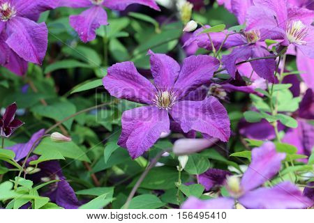 Clematis / The Clematis is a genus within the family Ranunculaceae