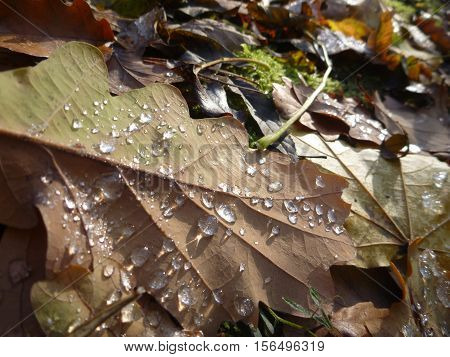 Detail Of A Fallen Autumn Leaves With Water Drops