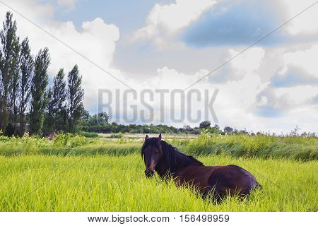 Horse dark brown color lying in grass. Domestic animal horse grazes on pasture. Summer rural landscape with herd horses in meadow under cloudy blue sky