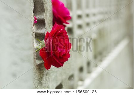 Flower red rose after rain in garden concrete fence. Rose in drops of rain garden background