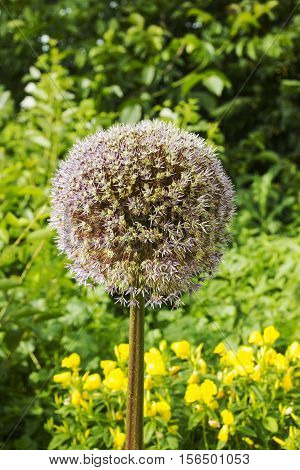 Flower onion giant fades. Allium seed head. Giant Onion (Allium giganteum) fruiting umbels