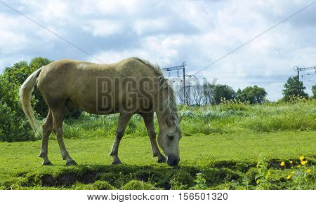 Horse milky white color. Domestic animal horse grazes on pasture. Rural landscape with herd horse in meadow under cloudy blue sky