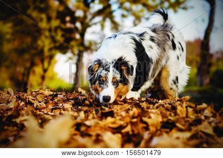 Australian Shepherd puppy in the autumn forest 6 months