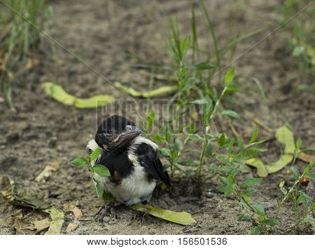 Nestling magpie bird in grass. Pica pica young bird