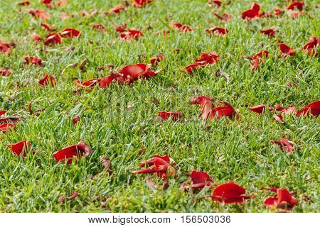 Closeup Of Green Lawn With Red Ceibo Flowers Seen From Lower Angle
