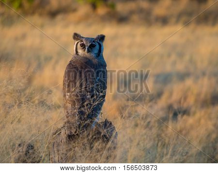 Giant eagle owl in soft afternoon light Moremi NP Botswana.