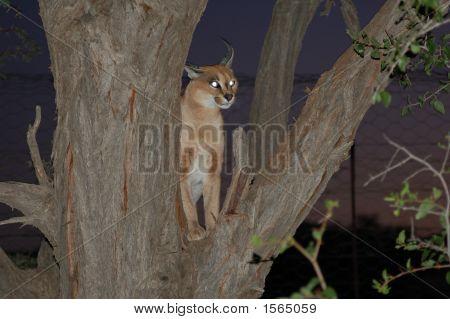 Animal Lynx In A Tree