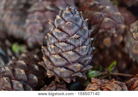 Large untreated Siberian pine cones with healthy nuts inside the shell.