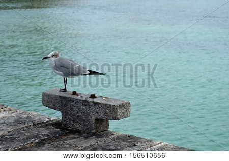 Seagull on a old pier, Isla Mujeres, México.