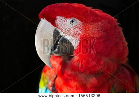 Beautiful Scarlet Macaw with large beak looking intently