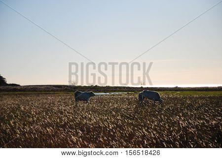 Grazing cattle in a backlit marshland by fall season