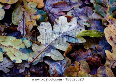 nice oak autumn leafage - abstract natural background