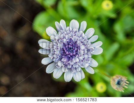 small verbena flower growing in the garden