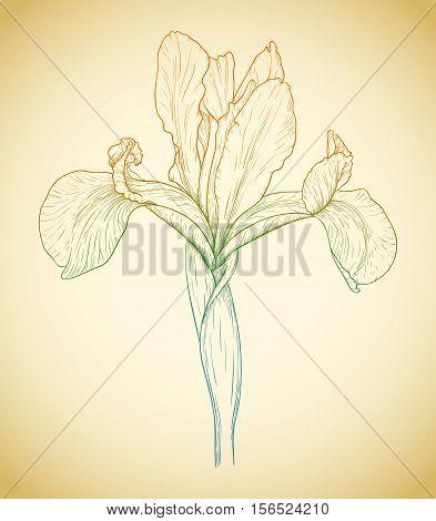 Vector Colored Iris.