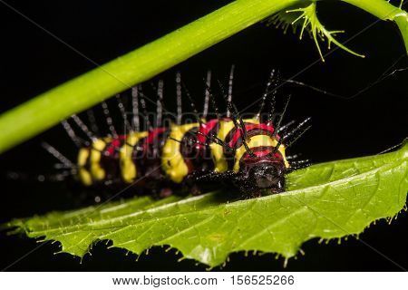 Macro Of Painted Jezebel (delias Hyparete) Caterpillars On Backside Of Their Host Plant Leaf In Natu