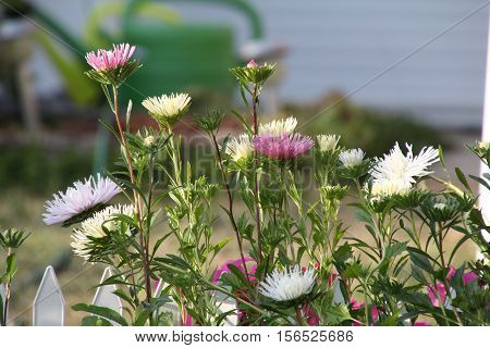 Aster / Astra - beautiful autumn flowers .