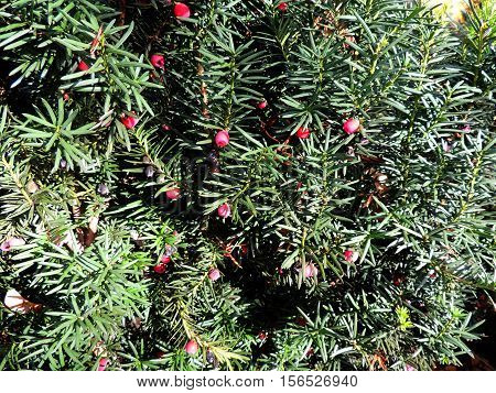 Branches and fruits of yew berry (Taxus baccata)