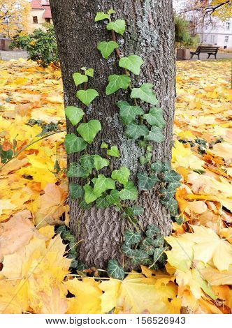 The shoots of ivy (Hedera) on a tree trunk against backdrop of autumn foliage