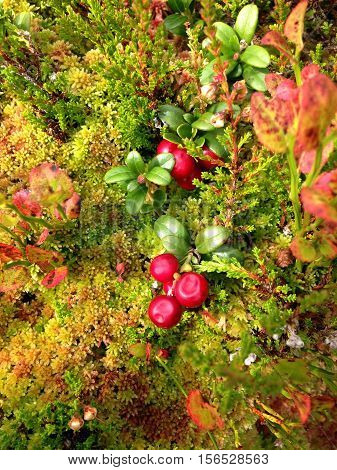 red ripe berries of the forest lingonberry