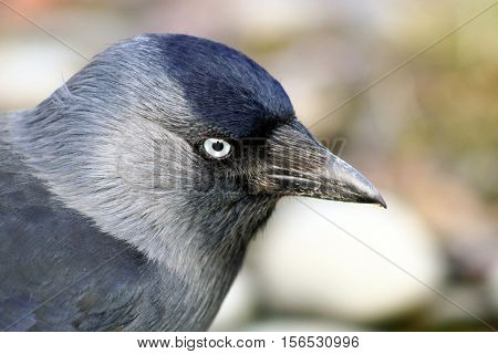 A close up of an adult Jackdaw