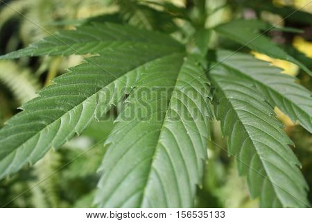 Close-up detail photo of green marijuana ganja cannabis leaf