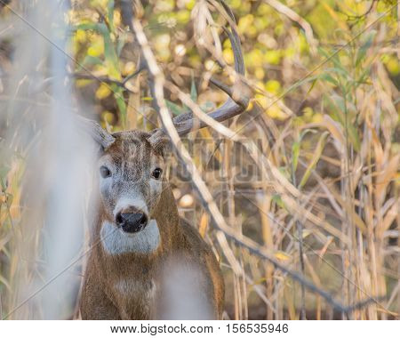 Whitetail Deer Buck hiding in a thicket.