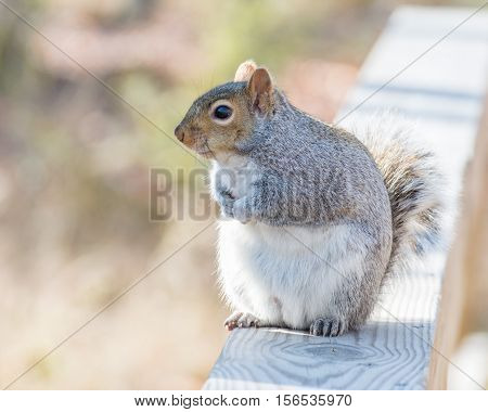 A grey squirrel perched on a wooden fence.