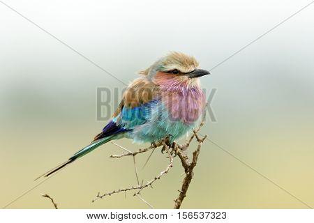 Lilac-breasted Roller (Coracias caudata) outdoor