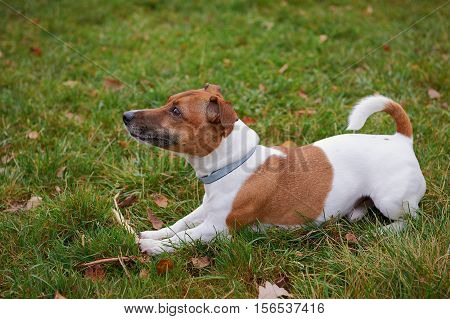 jack russell terrier dog lying on grass in park