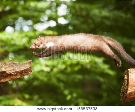 Stone marten jumping to stump martes foina
