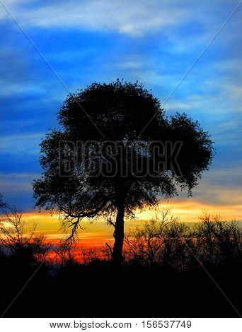 South African sunset in the Kruger Game Preserve showcasing the silhouette of a tree and the brush around it