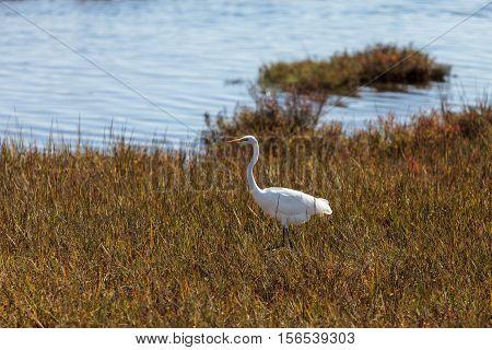 Great egret bird, Ardea alba, in a salt marsh in the upper Newport bay in Newport Beach, California, United States.