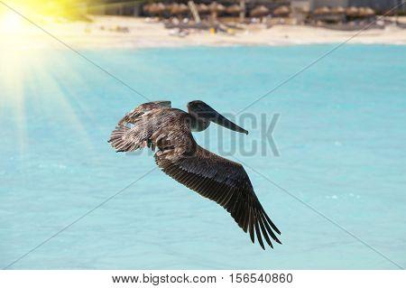 brown pelican in flight over the sea