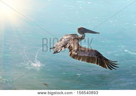 brown pelican in flight in a sunny day