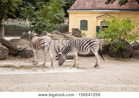 Vienna / Austria - July 22nd 2014: photo of two plains Zebras (Equus quagga) at Vienna Zoo