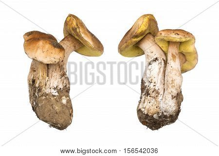 Porcini mushrooms. Cep isolated. The natural color and texture