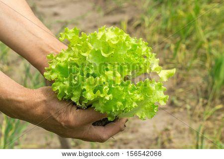 Lettuce in hand. Hands gardener. Work-worn hands. Farmer with freshly lettuce