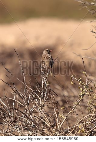 White crowned sparrow, Zonotrichia leucophrys, perches among the brush at the wildlife preserve of Bolsa Chica in Huntington Beach, California, United States