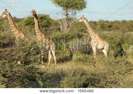 3 Giraffes In Bush