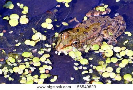 Frog In The Lake, Watching Photographer