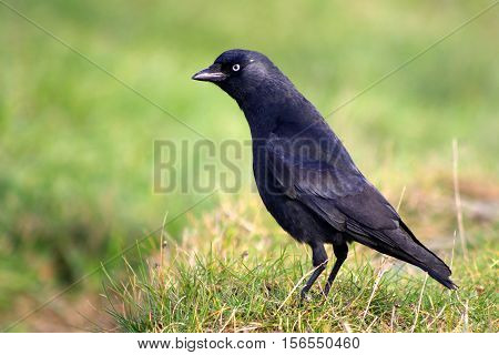 A sleek juvenile Jackdaw standing in green grass