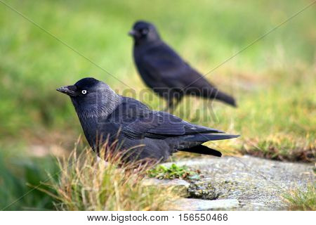 A crouching Jackdaw with youngster standing in the background
