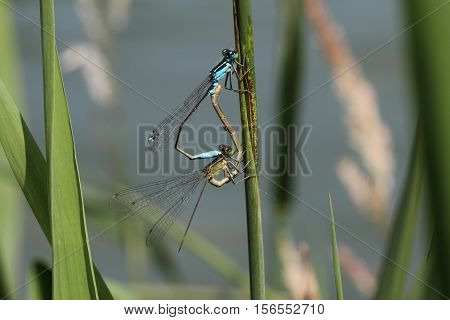 Dragonfly / Two dragonfly sitting on a blade of grass