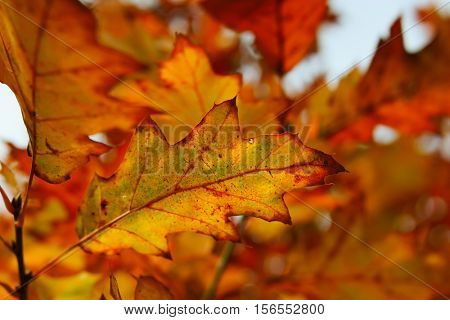 Fall foliage of a red oak. Photographed with a specialty lens to  obtain soft focus effect.